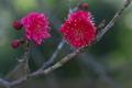 [紅梅][梅][梅畑][ウメ][ピンク色の花]紅梅