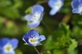 [オオイヌノフグリ][ゴマノハグサ科][土手][青い花][原]オオイヌノフグリ
