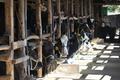[牛舎][牛小屋][乳牛][牛][ウシ]牛舎