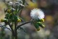 [ノボロギク][キク科][綿毛][黄色い花][原]ノボロギク