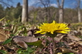 [カントウタンポポ][キク科][タンポポ][黄色い花][満行寺]カントウタンポポ