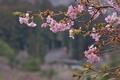 [花曇り][桜][サクラ][カワヅザクラ][河津桜]花曇り