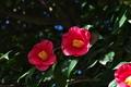 [椿][ツバキ][ツバキ科][カメリア][ピンク色の花]椿