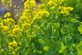 [菜の花畑][菜の花][アブラナ科][黄色い花][小日向]菜の花畑