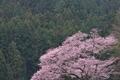 [桜][サクラ][彼岸桜][エドヒガン系][スギ林]サクラ