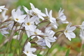[ハナニラ][ヒガンバナ科][花韮][白い花][長源寺]ハナニラ