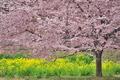 [桜][サクラ][菜の花][畑][長源寺]桜