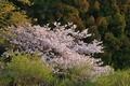 [山桜][桜][サクラ][ヤマザクラ][妙義神社]山桜