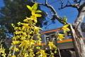 [レンギョウ][モクセイ科][黄色い花][信越本線][第十中山道踏切]レンギョウ