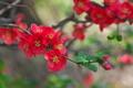 [ボケ][バラ科][木瓜][赤い花][稲子田]ボケ