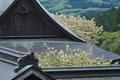 [静かな春][御殿][ウコンザクラ][鬱金桜][妙義神社]静かな春