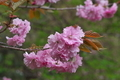 [桜][八重桜][八重][五料][ピンク色の花]桜