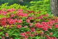 [明るい森][ツツジ][ヤマツツジ][赤い花][妙義神社]明るい森