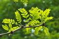 [明るい森][サイカチ][マメ科][若葉][妙義神社]明るい森