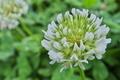 [シロツメクサ][マメ科][クローバー][白い花][小俣橋]シロツメクサ