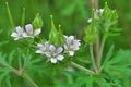 [アメリカフウロ][フウロソウ科][帰化植物][白い花][山寺]アメリカフウロ