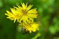 [オオジシバリ][キク科][雑木林][黄色い花][満行寺線]オオジシバリ