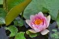 [睡蓮][スイレン][ため池][ピンク色の花][宮掛]睡蓮