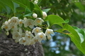 [エゴノキ][エゴノキ科][庭木][白い花][宮掛]エゴノキ