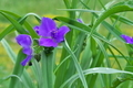 [ムラサキツユクサ][ツユクサ科][露草][紫色の花][寺前橋]ムラサキツユクサ