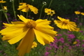 [オオキンケイギク][キク科][キンケイギク][外来種][黄色い花]オオキンケイギク