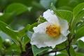 [ナツツバキ][ツバキ科][夏椿][白い花][五料]ナツツバキ