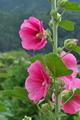 [タチアオイ][アオイ科][ホリホック][ピンク色の花][向原]タチアオイ