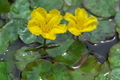 [アサザ][ミツガシワ科][ため池][黄色い花][宮掛]アサザ