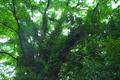 [サイカチ][マメ科][大木][テイカカズラ][妙義神社]サイカチ