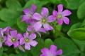 [ムラサキカタバミ][カタバミ科][紫色の花][ピンク色の花][笹原]ムラサキカタバミ