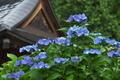 [紫陽花][アジサイ][あじさい][青い花][不動寺]紫陽花