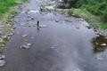 [碓氷川][一級河川][鮎釣り][釣り人][滝名田橋]碓氷川