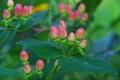 [ヒペリカム][オトギリソウ属][花畑][赤い実][五料]ヒペリカム