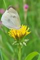[モンシロチョウ][シロチョウ科][タンポポ][白い蝶][小日向]モンシロチョウ