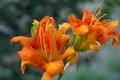 [ヤブカンゾウ][ワスレグサ属][八重咲き][オレンジ色の花][新堀]ヤブカンゾウ