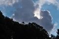 [シラカシ][ブナ科][樫][夏雲][五料]シラカシ