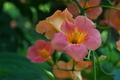 [ノウゼンカズラ][ノウゼンカズラ科][赤い花][オレンジ色の花][第十中山道踏切]ノウゼンカズラ