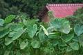 [サトイモ畑][サトイモ][里芋畑][里芋][農免西口]サトイモ畑