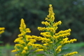 [セイタカアワダチソウ][キク科][背高泡立草][黄色い花][農免東口]セイタカアワダチソウ