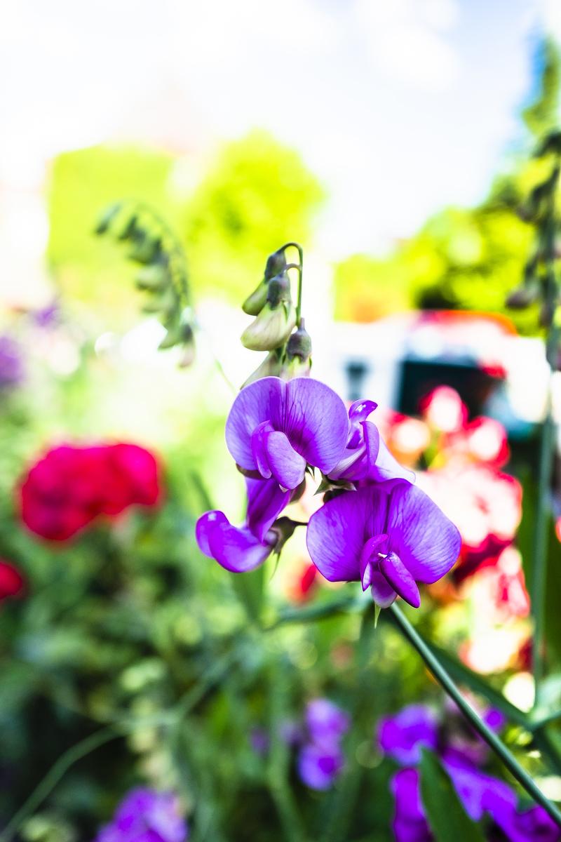 夏の花〜スイトピー