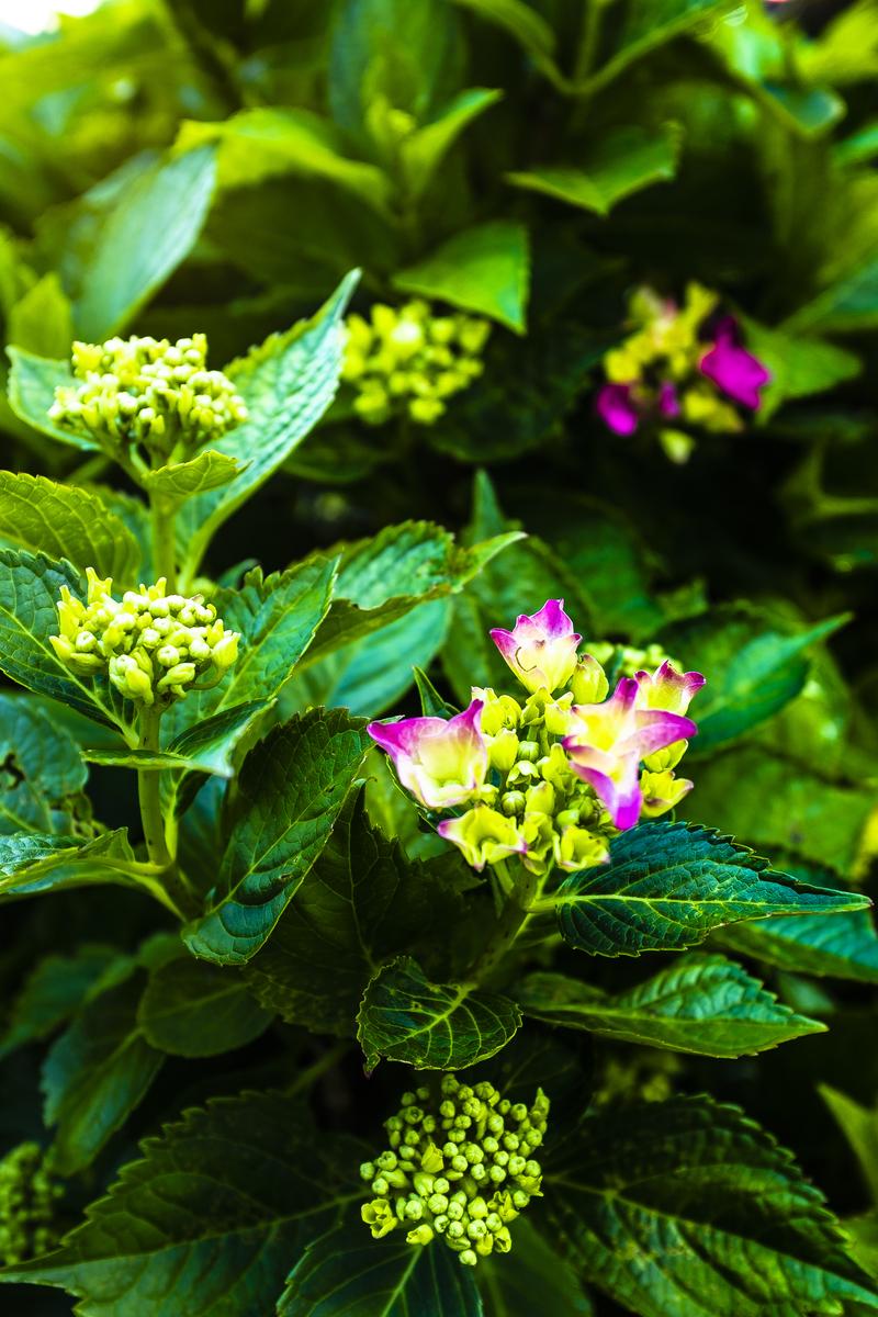 夏の花〜紫陽花