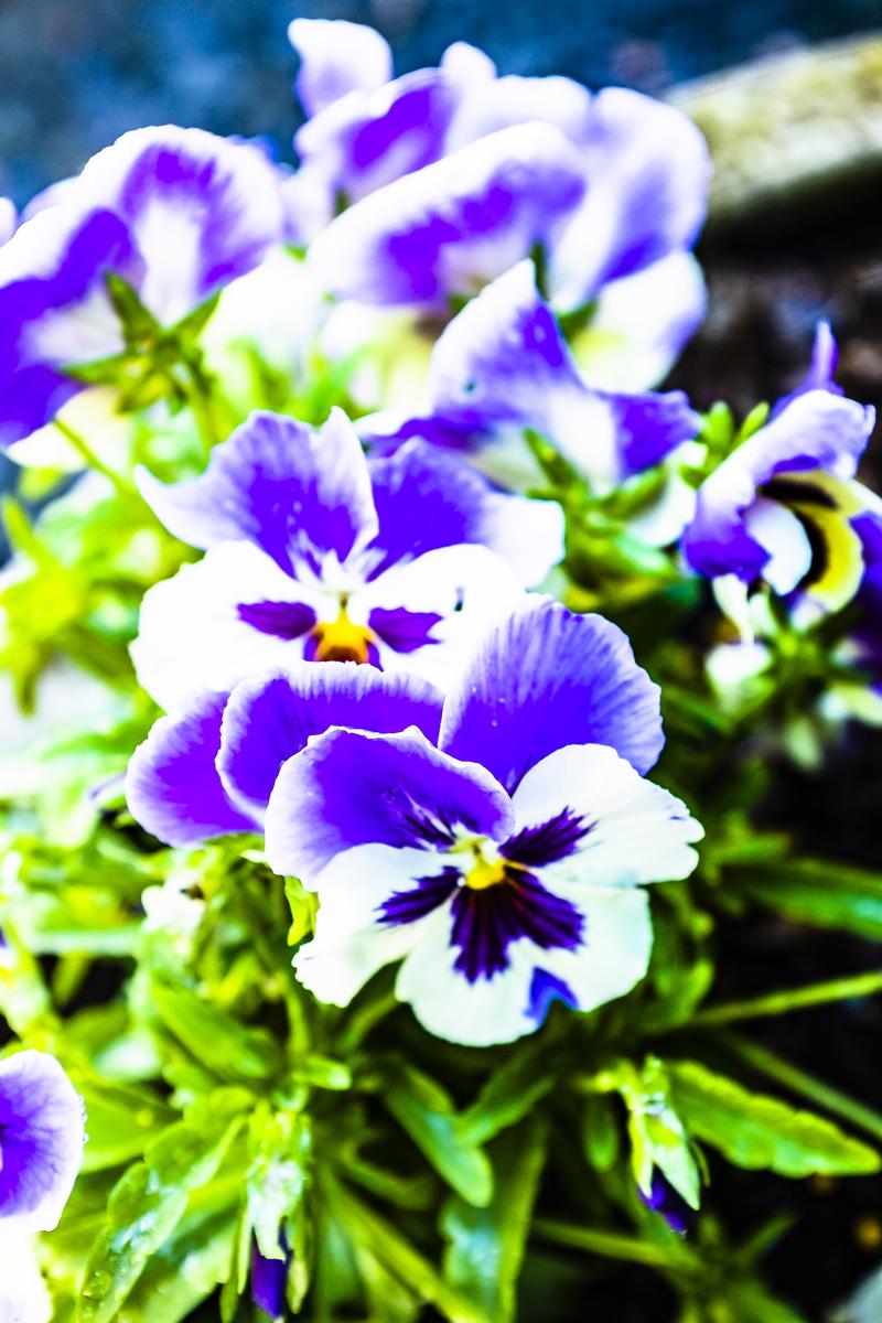 春の花〜パンジー