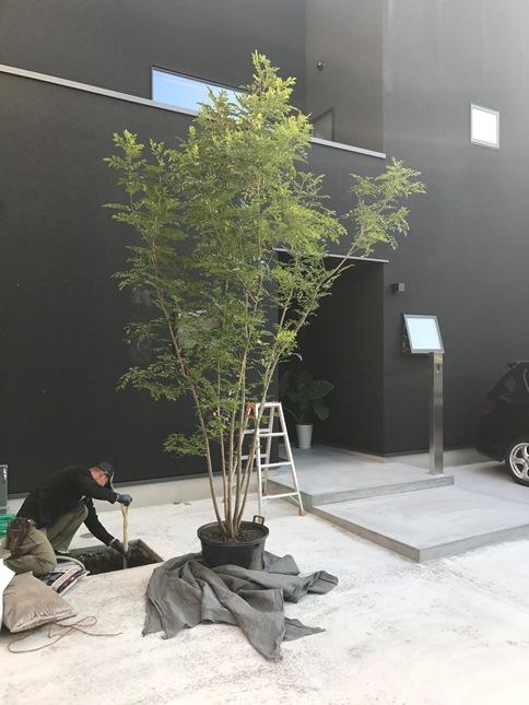 トネリコ植樹①