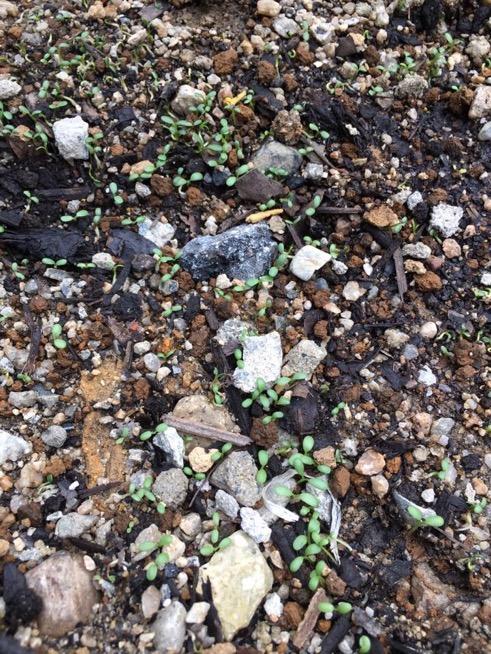 シロツメが発芽している
