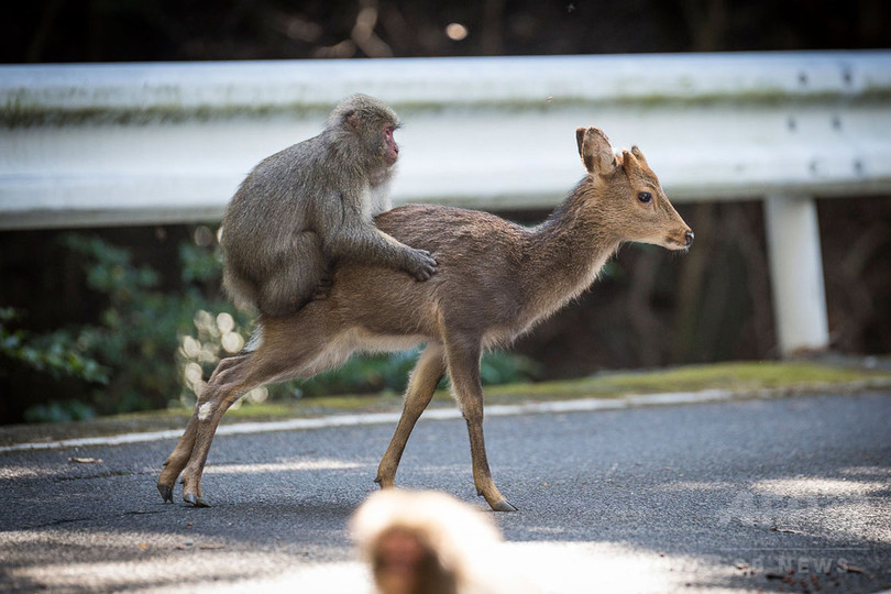 セックスする猿と鹿