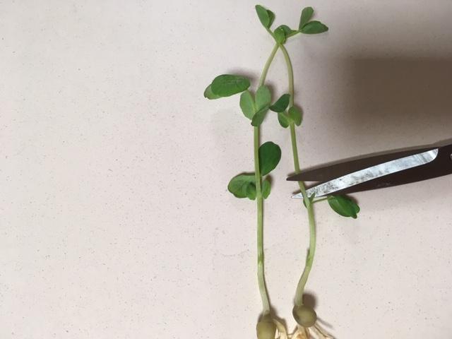 再収穫するために豆苗を切る位置