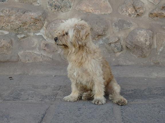クスコの野良犬