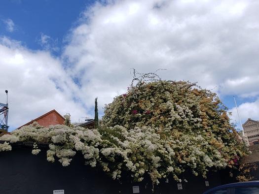 フリーマントルの住宅街の綺麗な花