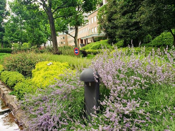 ラベンダーが綺麗な花壇。