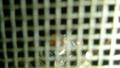金網にバルタン星人が!(虫嫌い注意)